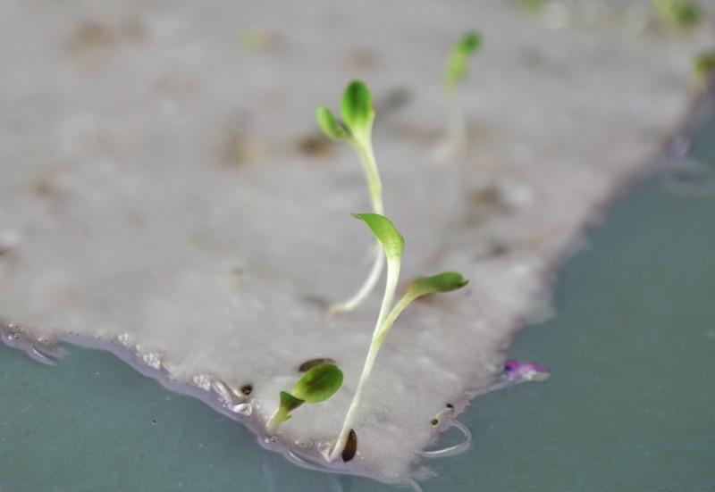 papel-plantable-germinado